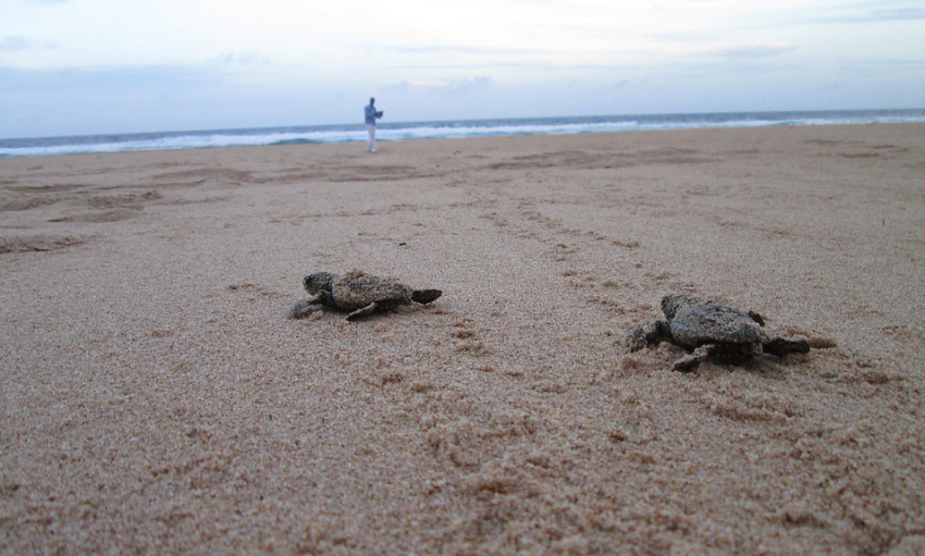 Mission accomplished: turtles on track